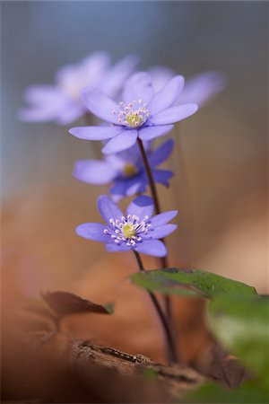 stamen - Close-up of Common Hepatica (Anemone hepatica) on the forest-floor in early spring, Upper Palatinate, Bavaria, Germany Stock Photo - Premium Royalty-Free, Code: 600-08122056