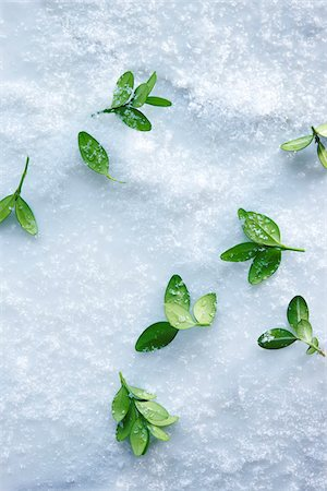Overhead View of Boxwood Leaves Scattered in Snow Stock Photo - Premium Royalty-Free, Code: 600-08167360