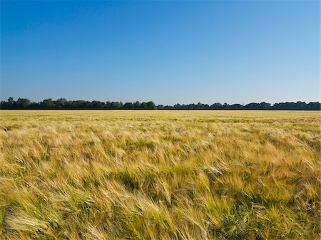 Wheat field with blue sky, Germany Stock Photo - Premium Royalty-Free, Code: 600-08169207