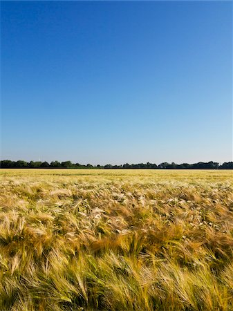 Wheat field with blue sky, Germany Stock Photo - Premium Royalty-Free, Code: 600-08169203