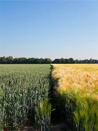 Young wheat growing next to wheat field, Germany Stock Photo - Premium Royalty-Free, Code: 600-08169210