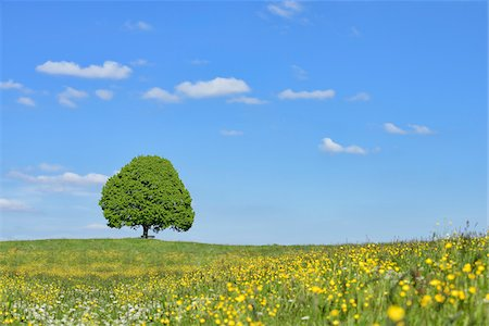 single fruits tree - Lime tree (tilia) and park bench in meadow, spring. Irschenberg, Miesbach, Bavaria, Germany. Stock Photo - Premium Royalty-Free, Code: 600-08171798