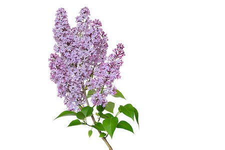 Close-up of Purple Lilac (syringa) flowers against white background, Germany Stock Photo - Premium Royalty-Free, Code: 600-08171805