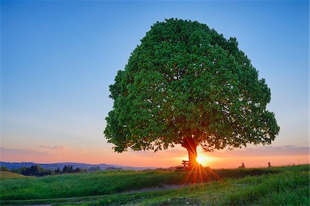 Lime tree (tilia) and park bench in meadow at sunset, spring. Irschenberg, Miesbach, Bavaria, Germany. Stock Photo - Premium Royalty-Free, Code: 600-08171801