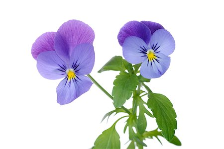 Horned pansy (viola cornuta), white background, studio shot on white background. Stock Photo - Premium Royalty-Free, Code: 600-08171814