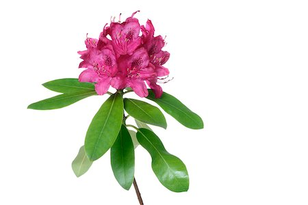 stamen - Pink Rhododendron, white background, studio shot on white background. Stock Photo - Premium Royalty-Free, Code: 600-08171813