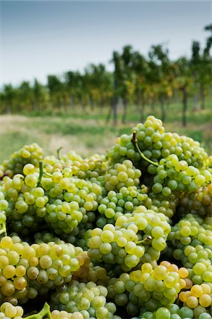 Close-up of Grapes in Vineyard near Grinzing, Vienna, Austria Stock Photo - Premium Royalty-Free, Code: 600-08212943