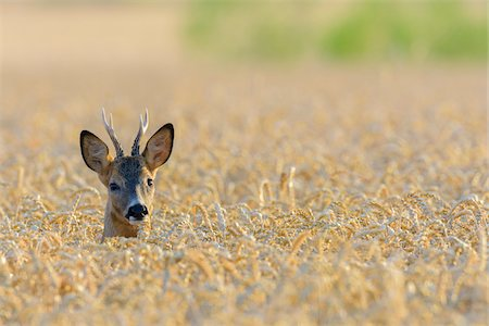 perception - Western Roe Deer (Capreolus capreolus) in Field of Grain, Roebuck, Hesse, Germany, Europe Stock Photo - Premium Royalty-Free, Code: 600-08221328