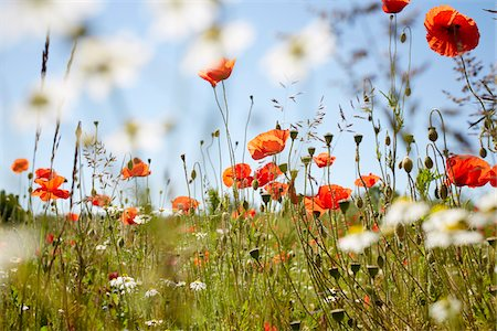 Red Field Poppies and Camomile in Meadow in Summer, Denmark Stock Photo - Premium Royalty-Free, Code: 600-08274318