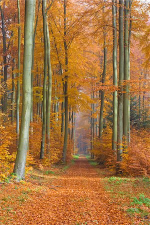 european (places and things) - Path through European Beech (Fagus sylvatica) Forest in Autumn, Spessart, Bavaria, Germany Stock Photo - Premium Royalty-Free, Code: 600-08280370