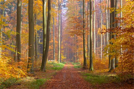 forest - Path through European Beech (Fagus sylvatica) Forest in Autumn, Spessart, Bavaria, Germany Stock Photo - Premium Royalty-Free, Code: 600-08280372