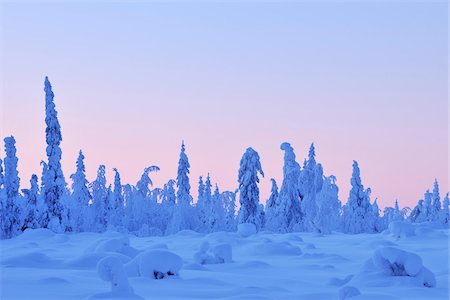 Snow Covered Spruce Trees at Dusk in Winter, Nissi, Kuusamo, Nordoesterbotten, Finland Stock Photo - Premium Royalty-Free, Code: 600-08353507