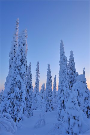Snow Covered Spruce Trees at Dawn in Winter, Niskalai, Kuusamo, Nordoesterbotten, Finland Stock Photo - Premium Royalty-Free, Code: 600-08353514