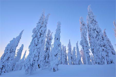 Snow Covered Spruce Trees at Dawn in Winter, Niskala, Kuusamo, Nordoesterbotten, Finland Stock Photo - Premium Royalty-Free, Code: 600-08353515