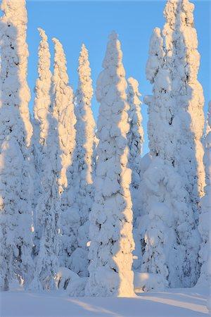 Snow Covered Spruce Trees in Winter, Niskala, Kuusamo, Nordoesterbotten, Finland Stock Photo - Premium Royalty-Free, Code: 600-08353512