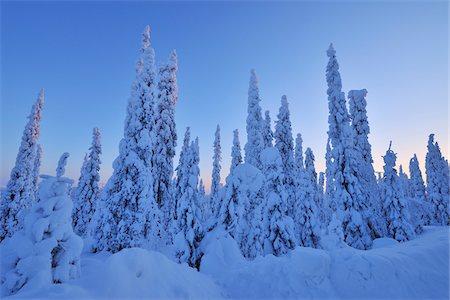 Snow Covered Spruce Trees at Dawn in Winter, Niskala, Kuusamo, Nordoesterbotten, Finland Stock Photo - Premium Royalty-Free, Code: 600-08353513
