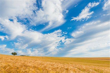 Barley Field in Summer, Wenschdorf, Milenberg District, Bavaria, Germany Stock Photo - Premium Royalty-Free, Code: 600-08386227