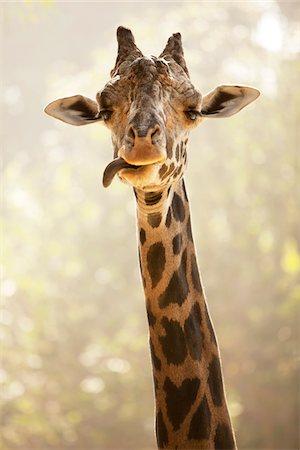 Portrait of Giraffe Sticking Tongue Out, Los Angeles Zoo, Los Angeles, California, USA Stock Photo - Premium Royalty-Free, Code: 600-08421754