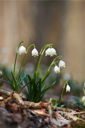 spring flowers - Close-up of Spring Snowflake (Leucojum vernum) Blooming in Spring, Upper Palatinate, Bavaria, Germany Stock Photo - Premium Royalty-Free, Code: 600-08512499