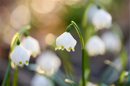 spring flowers - Close-up of Spring Snowflakes (Leucojum vernum) Blooming in Spring, Upper Palatinate, Bavaria, Germany Stock Photo - Premium Royalty-Free, Code: 600-08512505