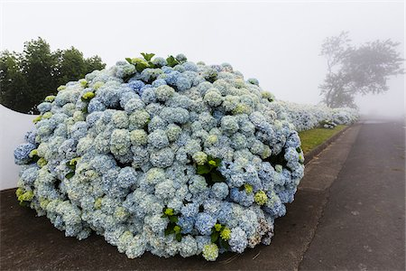 picture - Light Blue Hortensia (Hydrangea) Flowers growing like Wall on Foggy Day, Remedios, Ponta Delgada, Sao Miguel Island, Azores, Portugal Stock Photo - Premium Royalty-Free, Code: 600-08540119
