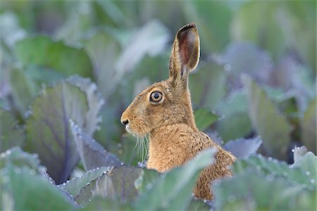 european - European Brown Hare (Lepus europaeus) in Red Cabbage Field in Summer, Hesse, Germany Stock Photo - Premium Royalty-Free, Code: 600-08576244