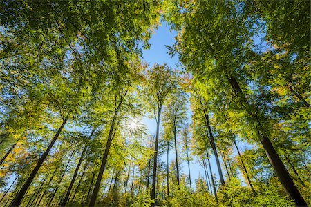 View looking-up into Beech treetops with Sun in Early Fall, Spessart, Bavaria, Germany Stock Photo - Premium Royalty-Free, Code: 600-08578855