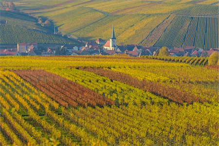 Colorful Vineyards in Autumn, Escherndorf, Maininsel, Alte Mainschleife, Mainfranken, Franconia, Bavaria, Germany Stock Photo - Premium Royalty-Free, Code: 600-08578869