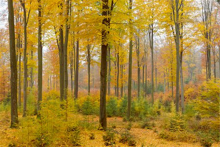 Colorful Autumn Forest, Spessart, Bavaria, Germany Stock Photo - Premium Royalty-Free, Code: 600-08578861