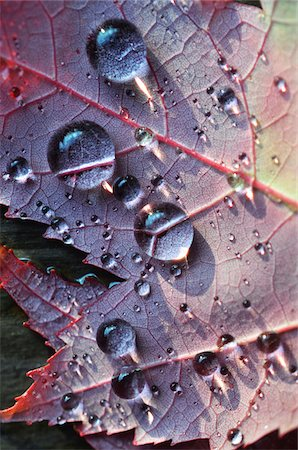 refraction - Light reflecting on close up of autumn leaf with raindrops Stock Photo - Premium Royalty-Free, Code: 600-08765233