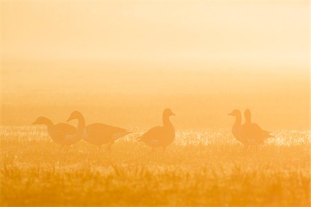 five animals - Greylag Geese (Anser anser) in Morning Mist at Sunrise, Hesse, Germany Stock Photo - Premium Royalty-Free, Code: 600-08783140