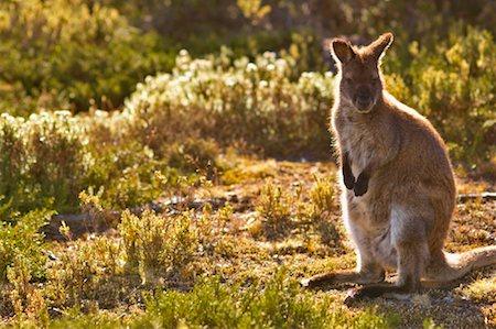 Bennett's Wallaby, Walls of Jerusalem National Park, Tasmania, Australia Stock Photo - Premium Royalty-Free, Code: 600-00865385
