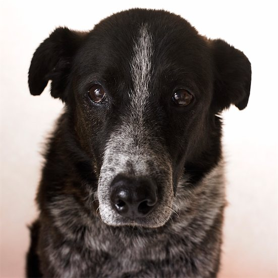 heeler mix dog. Border Collie, Heeler Mix