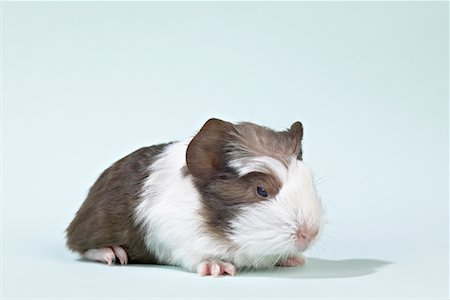 Portrait of Baby Guinea Pig Stock Photo - Premium Royalty-Free, Code: 600-01037655