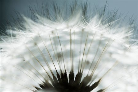 Close-up of Dandelion Stock Photo - Premium Royalty-Free, Code: 600-01083954