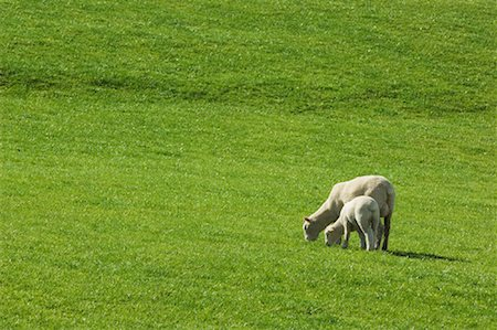 Mother and Lamb Grazing in Field, New Zealand Stock Photo - Premium Royalty-Free, Code: 600-01083963