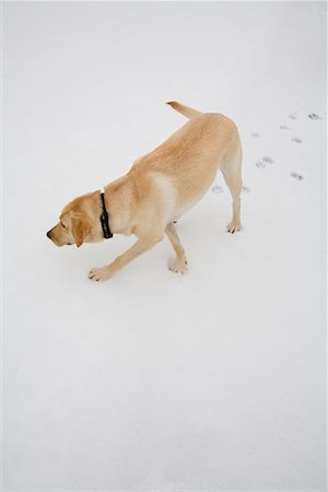 Dog Tracking in Snow Stock Photo - Premium Royalty-Free, Code: 600-01344436