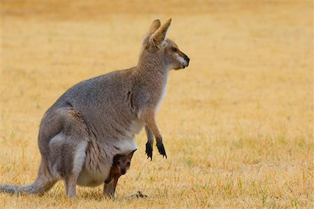 Red Necked Wallaby and Joey, Queensland, Australia Stock Photo - Premium Royalty-Free, Code: 600-01604029