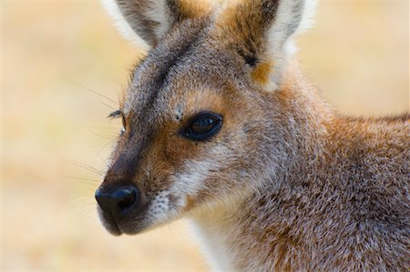 Red Necked Wallaby, Queensland, Australia Stock Photo - Premium Royalty-Free, Code: 600-01604030