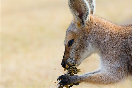 Red Necked Wallaby, Queensland, Australia Stock Photo - Premium Royalty-Free, Code: 600-01604031