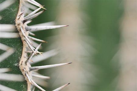 Cardon Cactus Needles Stock Photo - Premium Royalty-Free, Code: 600-01607021