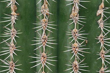Cardon Cactus Needles Stock Photo - Premium Royalty-Free, Code: 600-01607022