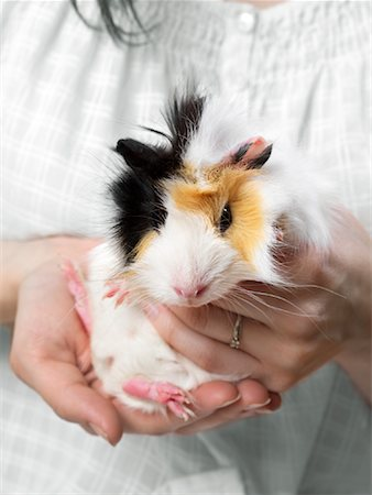 Guinea Pig Stock Photo - Premium Royalty-Free, Code: 600-01695279