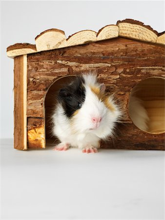 Guinea Pig Stock Photo - Premium Royalty-Free, Code: 600-01695285