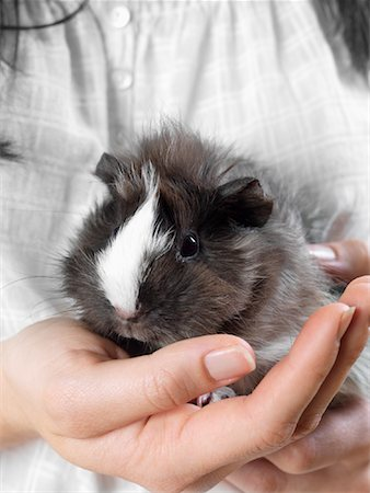 Close-up of Guinea Pig Stock Photo - Premium Royalty-Free, Code: 600-01695282