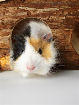 Guinea Pig Stock Photo - Premium Royalty-Free, Code: 600-01695283
