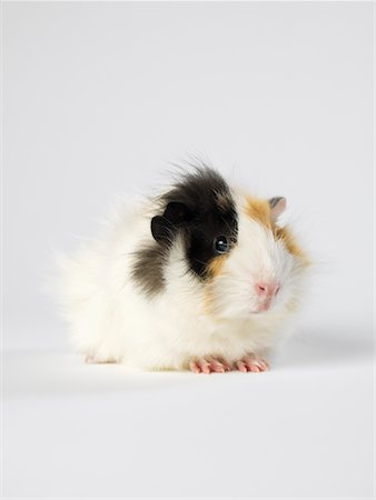 Guinea Pig Stock Photo - Premium Royalty-Free, Code: 600-01695294