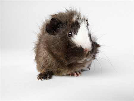 Guinea Pig Stock Photo - Premium Royalty-Free, Code: 600-01695290