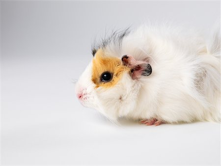 Guinea Pig Stock Photo - Premium Royalty-Free, Code: 600-01695292