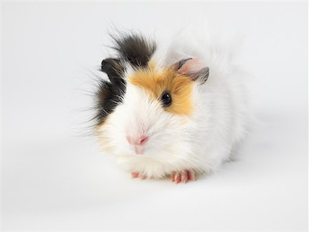 Guinea Pig Stock Photo - Premium Royalty-Free, Code: 600-01695293